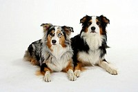 Australian, Shepherds, tricolor, and, blue-merle,