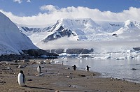 Five Gentoo Penguins standing on the coast Pygoscelis papua