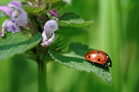 seven-point ladybird on a plant