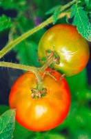 Garden Tomatoes. Solanum lycopersicon. August 2005, Maryland, USA