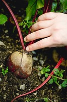 Hand picking beetroot in a vegetable bed