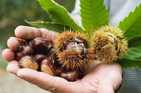 Hands holding sweet chestnuts with leaves