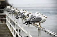 Seagulls stand on railing overlooking Lake Superior at Pictured Rocks National Seashore in Michigan Upper Peninsula. USA