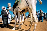 Camels race during the yearly tuareg  festival 'sebiba'. Djanet oasis. Tassili n'Ajjer. Sahara. Algeria