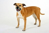 American, Staffordshire, Terrier