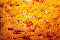Orange, Cup, Coral, Tubastrea, coccinea,