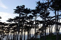 Golden Gate National Recreation Area. Point Lobos. Monetery Cypresses. San Francisco. California. USA