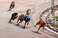 Greyhound dog racing at the Sarasota Kennel Club dog track in Sarasota. Florida. USA