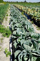 Green Cabbage Fresh Vegetable Produce and Fruit Truck Farming in Ruskin Florida Tampa Hillsborough County Gulf West Central. USA.