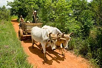 Peasants going to Vi&#241;ales by cart. Pinar del R&#237;o. Cuba