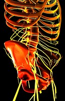 Nerves of the upper body
