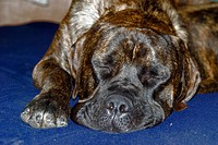mastiff, dog, house dog, portrait, British, breed, sleeping, animal