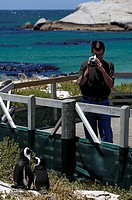 Man shooting a video of two penguins, Boulders Beach, Cape Town, Western Cape Province, South Africa