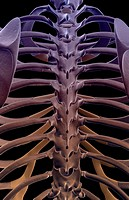 The bones of the thoracic vertebrae
