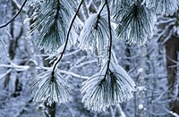 Ice covered pine tree branches