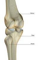 The bones of the knee