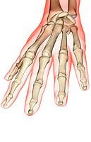 The bones of the hand
