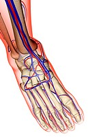 The blood supply of the foot (thumbnail)
