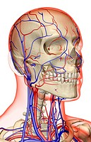 The blood supply of the head, neck and face