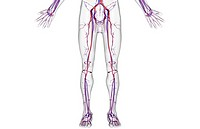 The blood supply of the lower body (thumbnail)