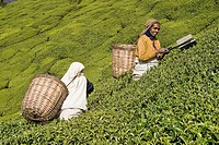 Women picking up tea leaves in a tea estate near Ooty. Tamil Nadu, India