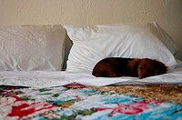 Dachshund sleeping on the bed