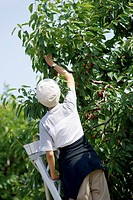 Lady on ladder picking cherries from cherry tree