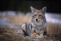 Coyote resting in winter grass, snowing lightly, Kananaskis, Alberta