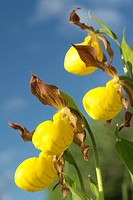 Low angle of Yellow Ladyslipper, a wild orchid native to Manitoba, Canada, Manitoba, Erickson