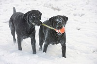 Two black dogs share toy in snow, Canada, Alberta