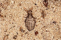 animal,insect,larva,antlion,doodlebug
