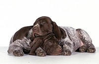 animal,dog,german-shorthaired-pointer,puppy