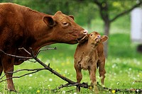 animal,cow,calf