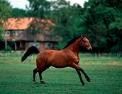 animal,horse,Hanoverian