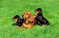 animal,dog,smooth-haired-dachshund,puppy