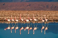 animal,bird,Andean-flamingo