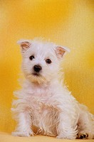 animal,dog,west-highland-white-terrier,puppy