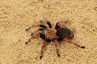 bird eating spider - in sand - Brachypelma boehmei