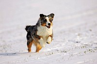 Australian Shepherd running through snow
