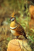 spinifex pigeon - Geophas plumifera