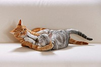 British Shorthair cat and domestic cat - playing