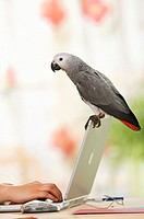 Congo African Grey parrot on laptop - Psittacus erithacus