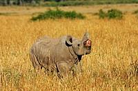 young Black Rhinoceros - Diceros bicornis