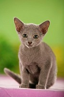 young Oriental Shorthair - sitting
