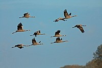 common cranes - flying - Grus grus