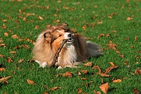 Sheltie lying on meadow - playing with stick