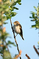 willow warbler - sitting on twig - Phylloscopus trochilus