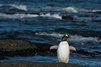 gentoo penguin - at the shore - Pygoscelis papua