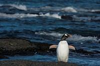 gentoo penguin - at the shore - Pygoscelis papua
