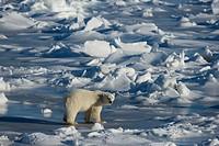 polar bear - standing - Ursus maritimus